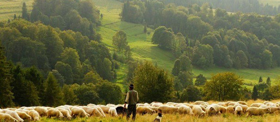 sheep-690198__340